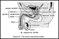 Genital System
