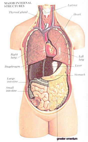major internal structures anatomy illustration drawing