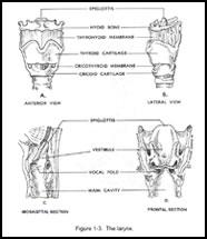 Larynx Physiology