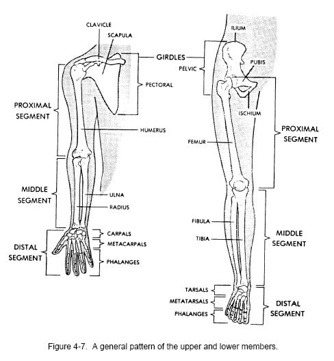 detailed bone image anatomy