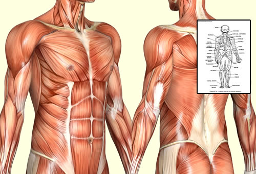 detailed human anatomy body