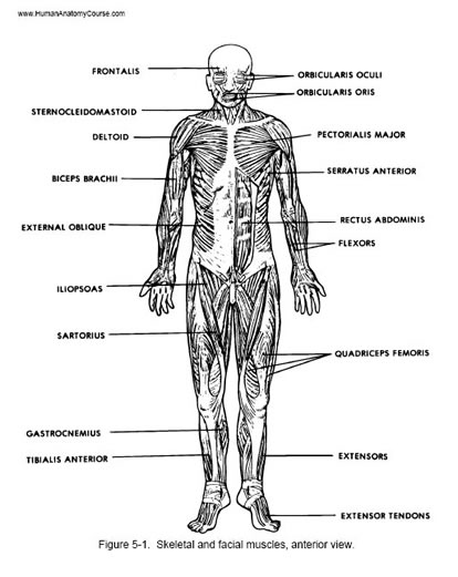 human muscles illustration