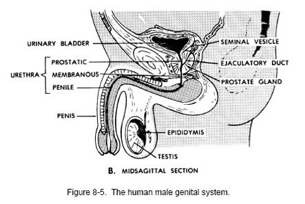 genital system of human male