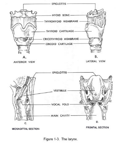 larynx anatomy illustration